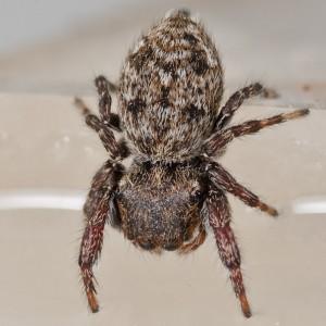http://naturdata.com/images/species/13000/Bianor-albobimaculatus-13423-135047960760130-tb.jpg