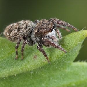 http://naturdata.com/images/species/13000/Bianor-albobimaculatus-13423-135047961071722-tb.jpg