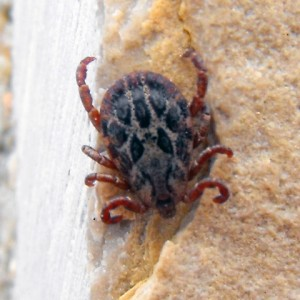 Dermacentor marginatus