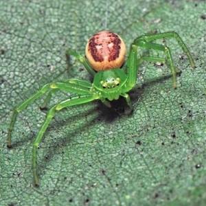 http://naturdata.com/images/species/13000/Diaea-dorsata-13588-139291046585668-tb.jpg