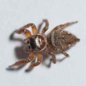 http://naturdata.com/images/species/13000/Evarcha-jucunda-13417-137234916048859-tb.jpg