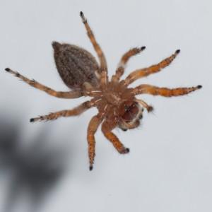 http://naturdata.com/images/species/13000/Evarcha-jucunda-13417-137234916710586-tb.jpg