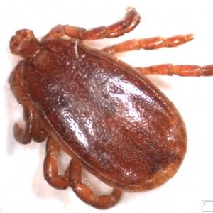 Haemaphysalis punctata