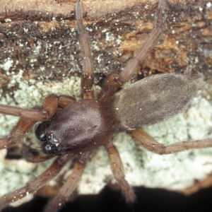 Haplodrassus macellinus