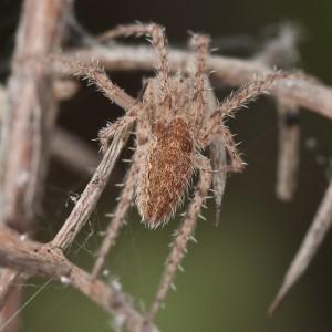 http://naturdata.com/images/species/13000/Larinia-lineata-13019-133978419471622-tb.jpg