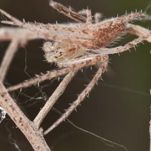 http://naturdata.com/images/species/13000/Larinia-lineata-13019-133978419796505-tb.jpg
