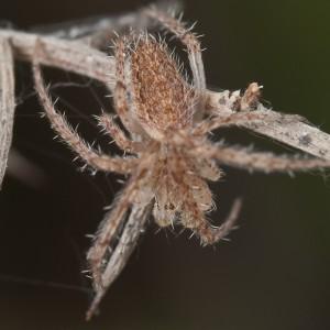 http://naturdata.com/images/species/13000/Larinia-lineata-13019-133978420479413-tb.jpg