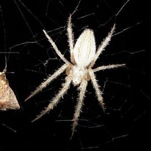 http://naturdata.com/images/species/13000/Larinia-lineata-13019-143946003611651-tb.jpg