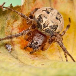 http://naturdata.com/images/species/13000/Larinioides-cornutus-13018-137902748825182-tb.jpg