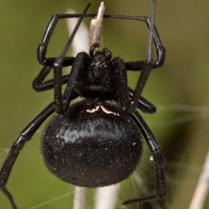 http://naturdata.com/images/species/13000/Latrodectus-tredecimguttatus-13272-134494846183498-tb.jpg