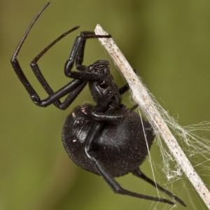 http://naturdata.com/images/species/13000/Latrodectus-tredecimguttatus-13272-134494846294172-tb.jpg