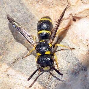 Leptochilus andalusicus