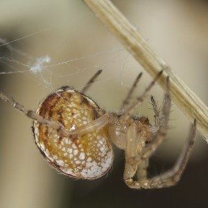 http://naturdata.com/images/species/13000/Mangora-acalypha-13014-133979252791298-tb.jpg