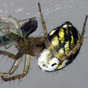 http://naturdata.com/images/species/13000/Mangora-acalypha-13014-135482501818544-tb.jpg