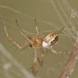 http://naturdata.com/images/species/13000/Mangora-acalypha-13014-137903099226569-tb.jpg