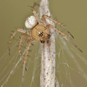 http://naturdata.com/images/species/13000/Mangora-acalypha-13014-137903099318157-tb.jpg