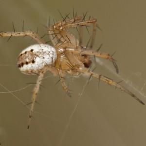 http://naturdata.com/images/species/13000/Mangora-acalypha-13014-137903099475860-tb.jpg