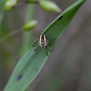 http://naturdata.com/images/species/13000/Mangora-acalypha-13014-142987000210521-tb.JPG