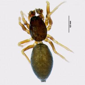 Agyneta fuscipalpa