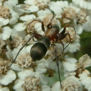 Micaria formicaria