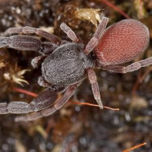 http://naturdata.com/images/species/13000/Palpimanus-gibbulus-13332-133814643592108-tb.jpg