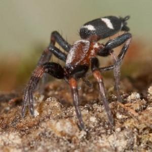 Poecilochroa variana