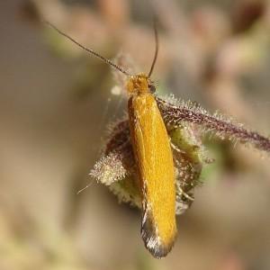 Reisserita chrysopterella