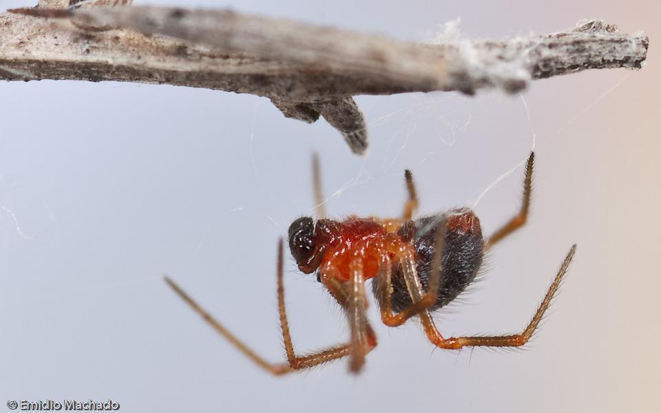 Os machos têm um comprimento corporal entre 1,5 a 1,7 mm © Emídio Machado
