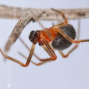 A tíbia dos pedipalpos dos machos é muito curta. © Emídio Machado