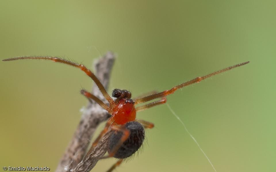 A carapaça é laranja avermelhado vivo em ambos os sexos. © Emídio Machado