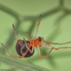 As fêmeas medem entre 1,8 a 2,3 mm de corpo © Emídio Machado