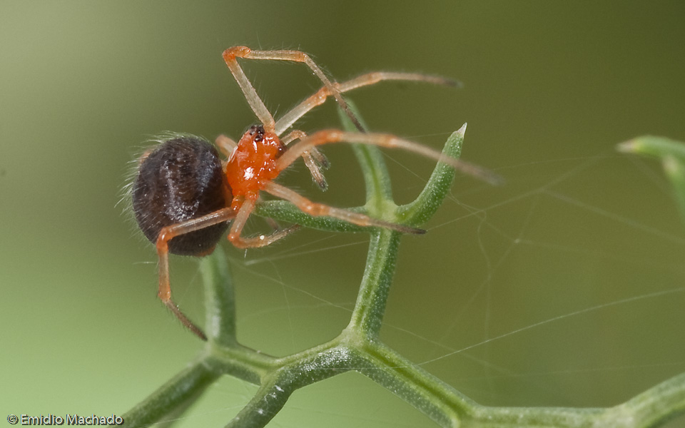 As patas são mais avermelhadas junto às articulações e mais amareladas ou acastanhadas no resto dos segmentos. © Emídio Machado