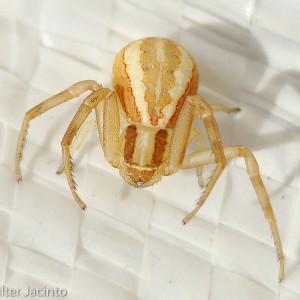 http://naturdata.com/images/species/13000/Runcinia-grammica-13599-134583245735646-tb.jpg