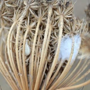 http://naturdata.com/images/species/13000/Runcinia-grammica-13599-143838526670143-tb.JPG