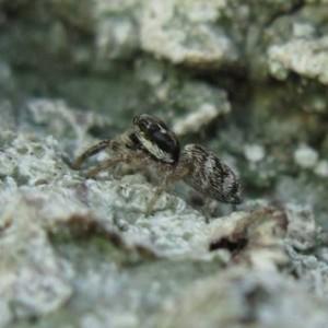 Salticus zebraneus