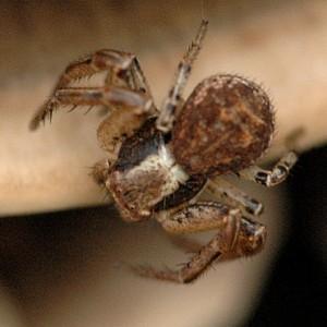 Xysticus erraticus