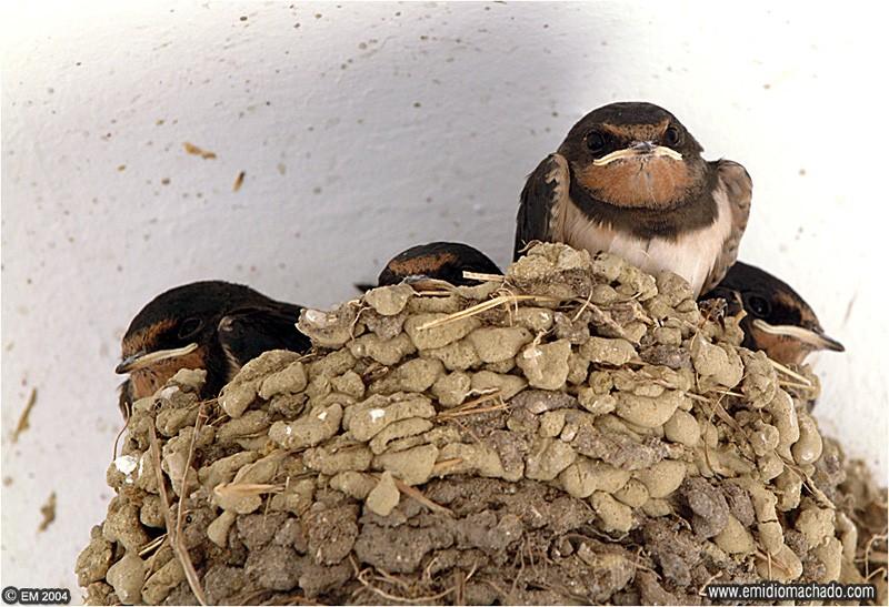 Crias no ninho © Emídio Machado