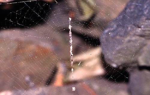 Teia com a típica linha de detritos e a aranha no centro © Ricardo Ramos da Silva