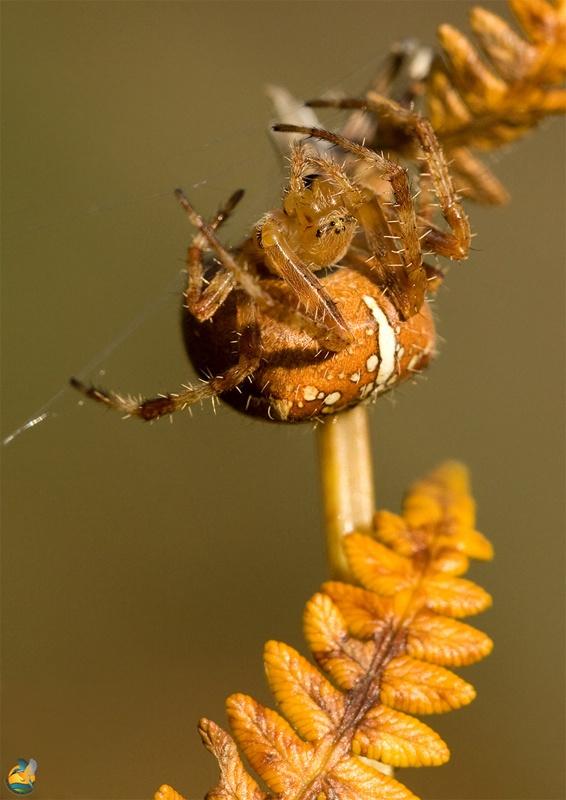 Fêmea adulta © Guarda-Rios do Lima