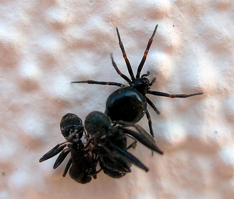 Fêmea a predar formigas © Heliodoro Piçarra