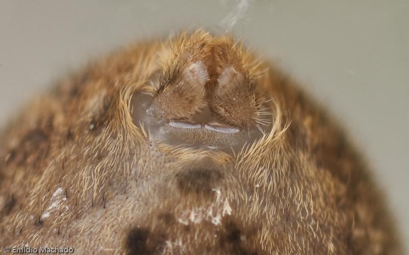 Fieiras e cribelo de uma fêmea © Emídio Machado