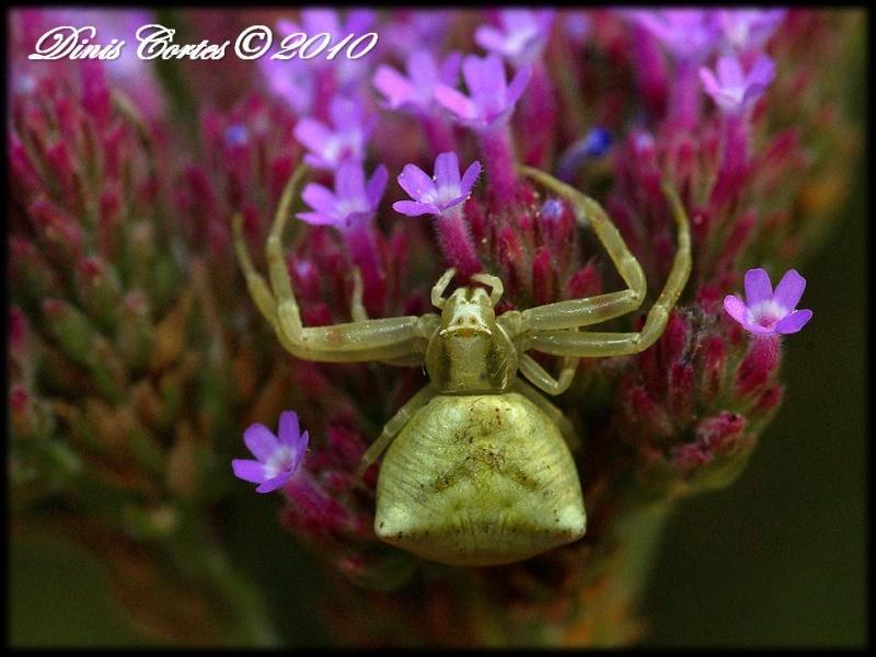 Fêmea © Dinis Cortes