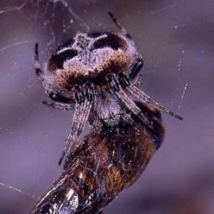 Fêmea a predar um insecto © Marco Mirinha