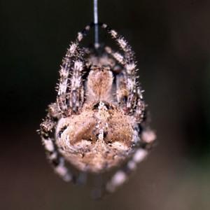 Araneus angulatus