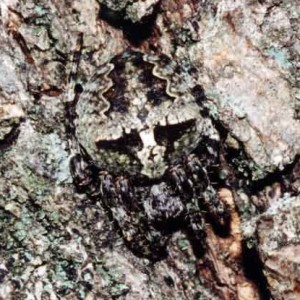Fêmea mimética em casca de oliveira © Ricardo Ramos da Silva