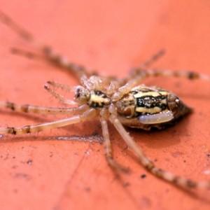 Juvenil parasitado por larva de Schelifron sp. © Ricardo Ramos da Silva