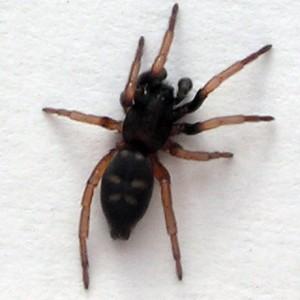 Phaeocedus braccatus