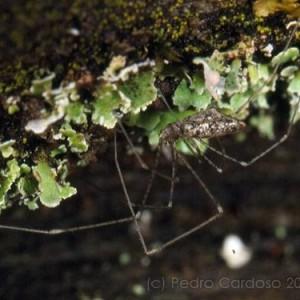 Holocnemus caudatus