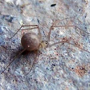 Spermophora senoculata