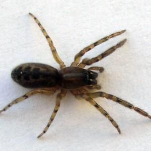 Segestria senoculata